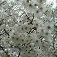 2007春 桜UP(新百合ヶ丘)