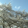 2007春 桜(世田谷)