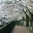 鎌倉シネマワールドの側道桜並木