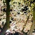 上智大学の夜桜