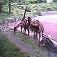 キリン&シマウマ