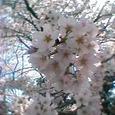 駒場公園 桜