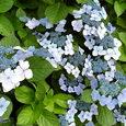 8月の紫陽花