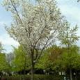 2007春 桜(大阪城公園)